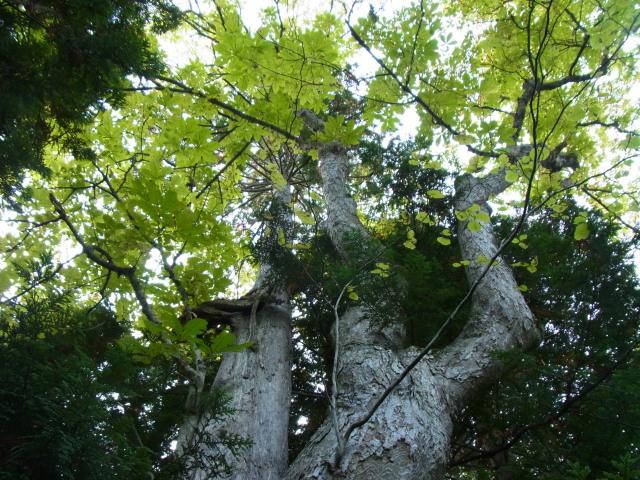 sトチ大木