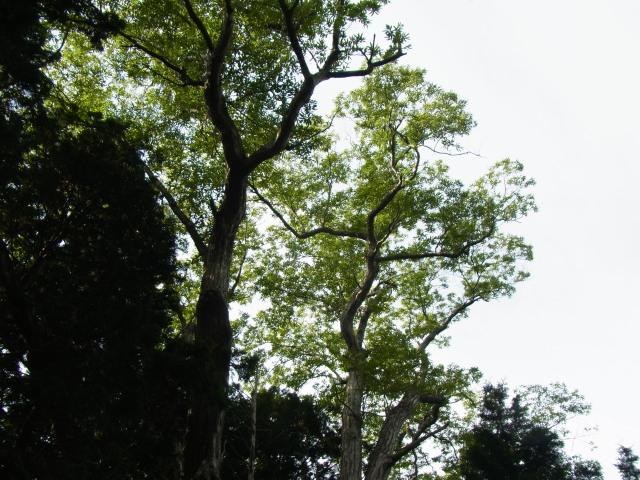 sオグリ枝