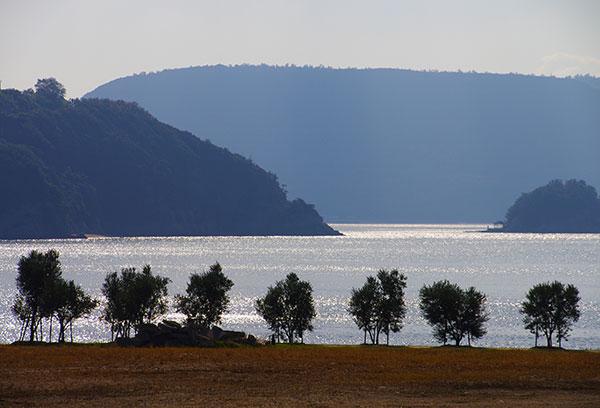 小豆島の海辺のオリーブ