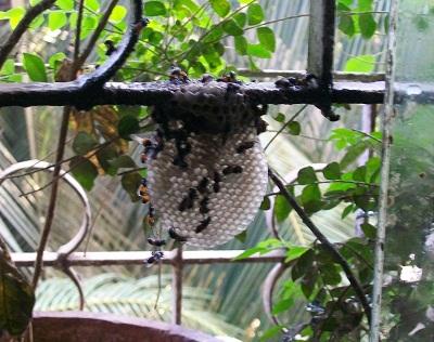 白い蜂の巣