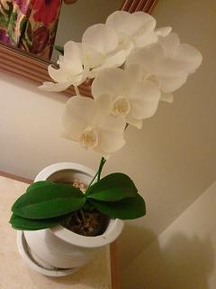 ブセナミニ胡蝶蘭