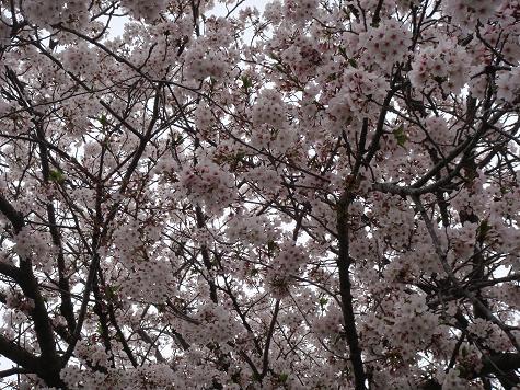 残ってくれた桜