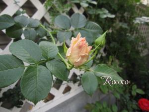 ロココ110509-2