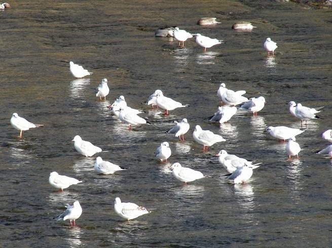鴨川鳥 130