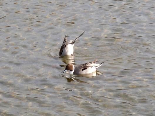 鴨川鳥 120 - コピー