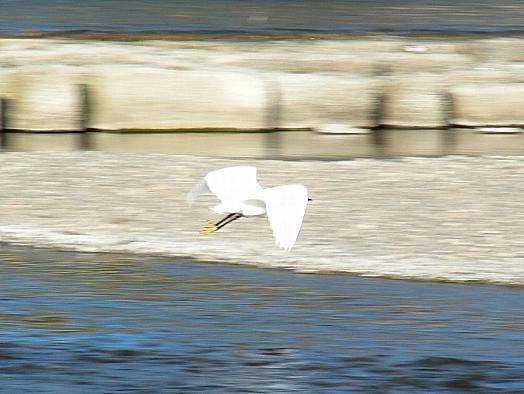 鴨川鳥 139