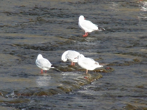鴨川鳥 132 - コピー