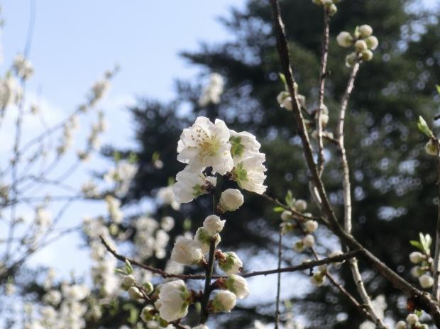 御所桃2012 041 - コピー