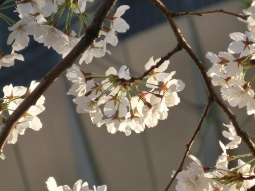 お亀上品高瀬川桜 146 - コピー