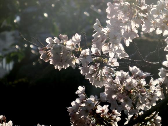 お亀上品高瀬川桜 121 - コピー
