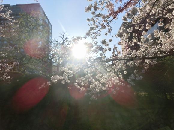 お亀上品高瀬川桜 120 - コピー