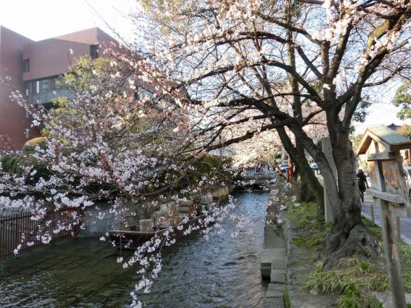 お亀上品高瀬川桜 106 - コピー