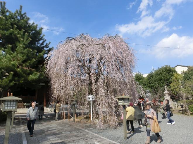 お亀上品高瀬川桜 024 - コピー