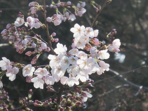 お亀上品高瀬川桜 071 - コピー