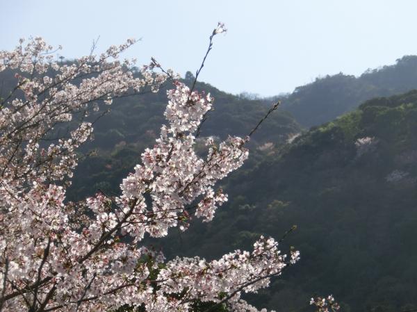 桜嵐山嵐電2012 193 - コピー