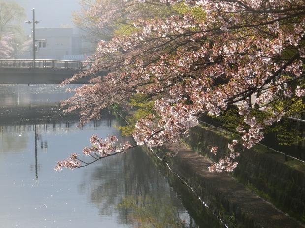岡崎円山伏見桜2012 018 - コピー