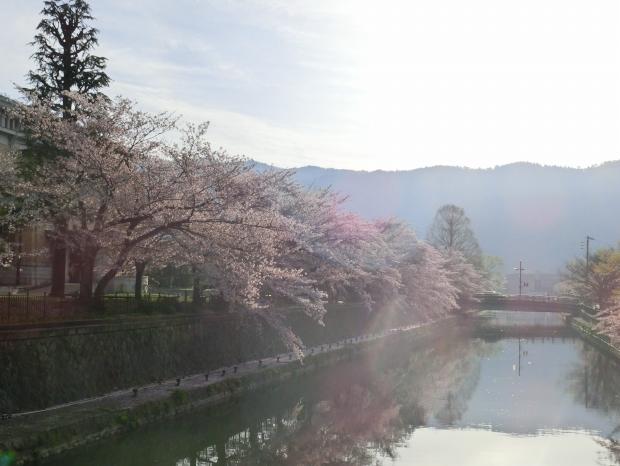 岡崎円山伏見桜2012 021 - コピー