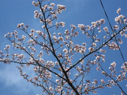 10/4/2小学校の桜
