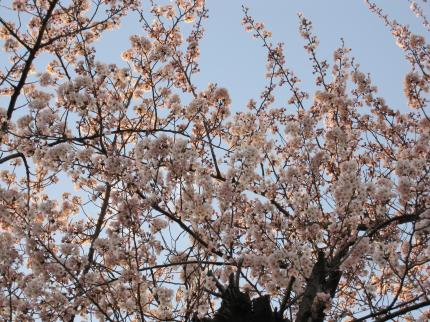 10/4/3桜