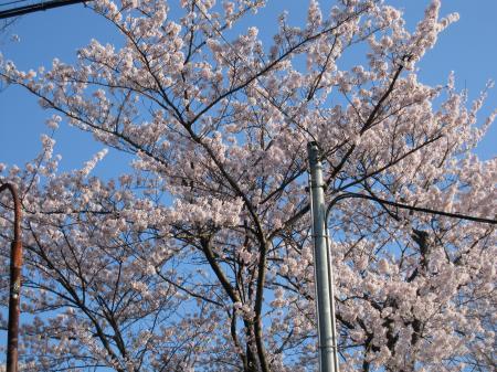 10/4/8小学校桜満開