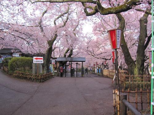 10/4/13高遠桜
