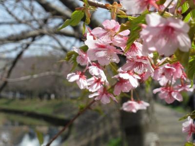 佐保の河津桜 (2)