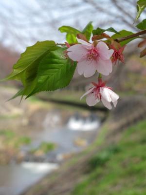 佐保の河津桜 (1)