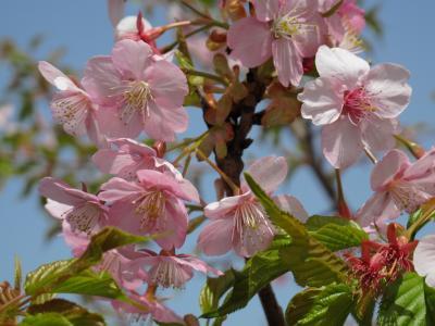 佐保の河津桜