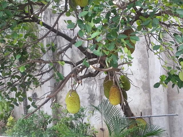 ジャックフルーツの木2