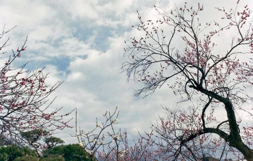コピー ~ F 不老園 紅梅