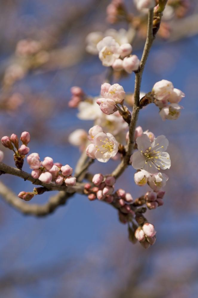 2010 03 14_2049 桜開花 (4)