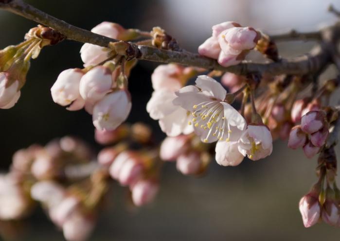 2010 03 14_2049 桜開花 (3)