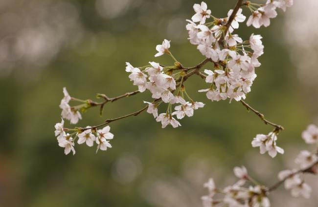 2010 04 09_葉桜