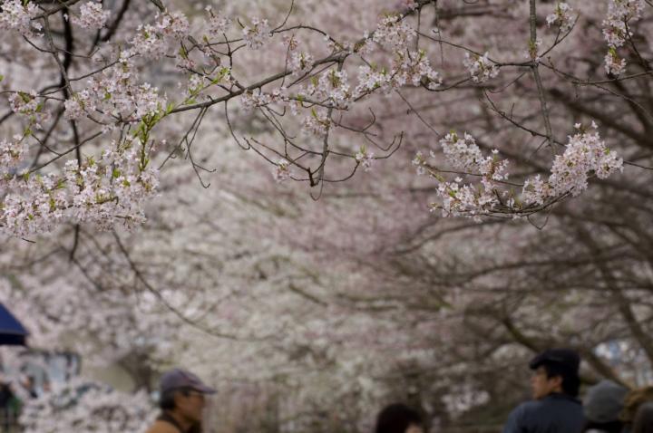 2010 04 11_山梨 桜 D2x (64)