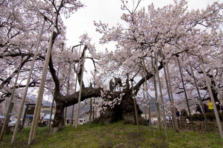 2010 04 11_山梨 神代桜+1 D2x (43)