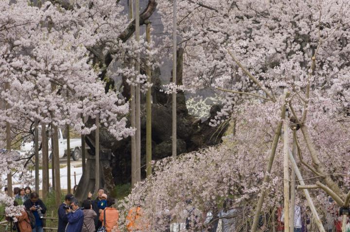 2010 04 11_山梨 神代桜 D2x (56)