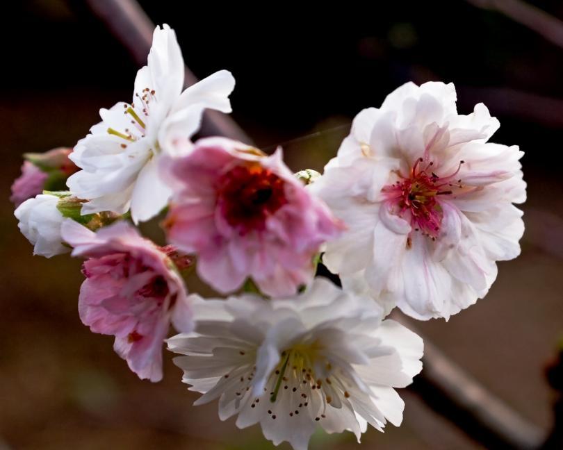 2010 11 03 桜?