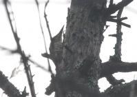 アオゲラ雌