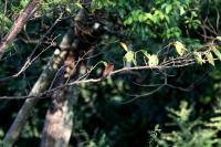 サンコウチョウ雌
