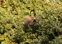 チュウヒ幼鳥