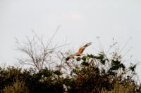 チュウヒ成鳥