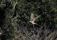 オオタカ幼鳥