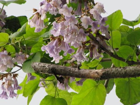 上毛「高原だより」桐の花