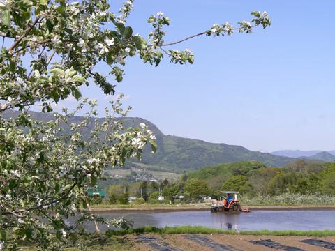 りんごの花と田起こし