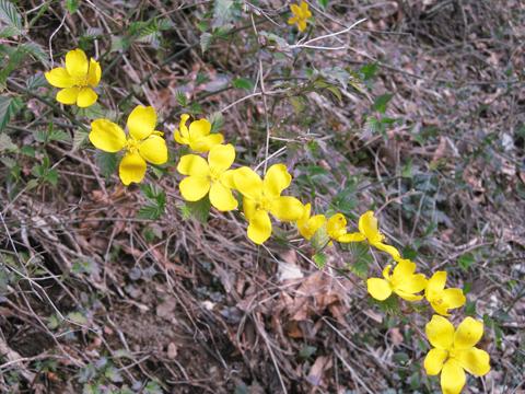 山吹の花5-6