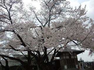 2012雲竜時の桜