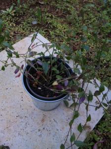 ブライダルベール 鉢植え 現状