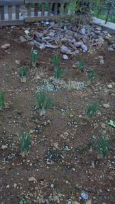 サフラン 葉成長