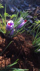 サフラン 開花