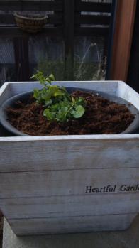 ビオラ 鉢植え